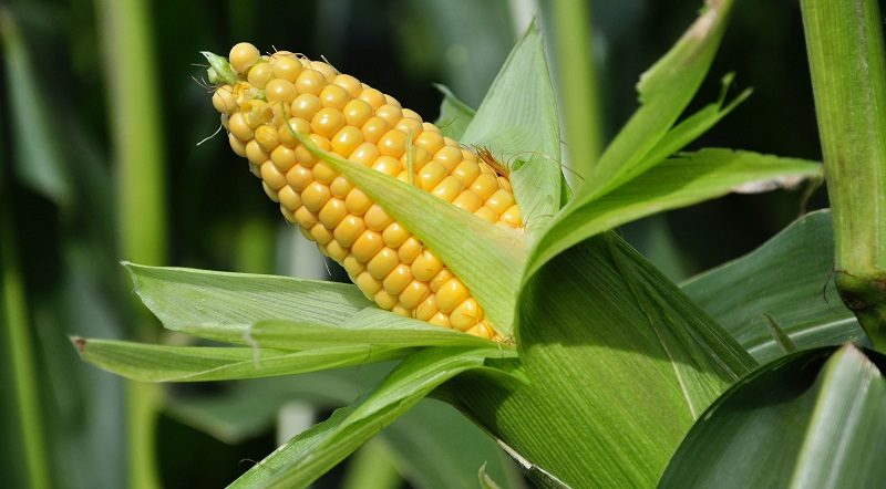Посушлива погода може знизити врожайність кукурудзи