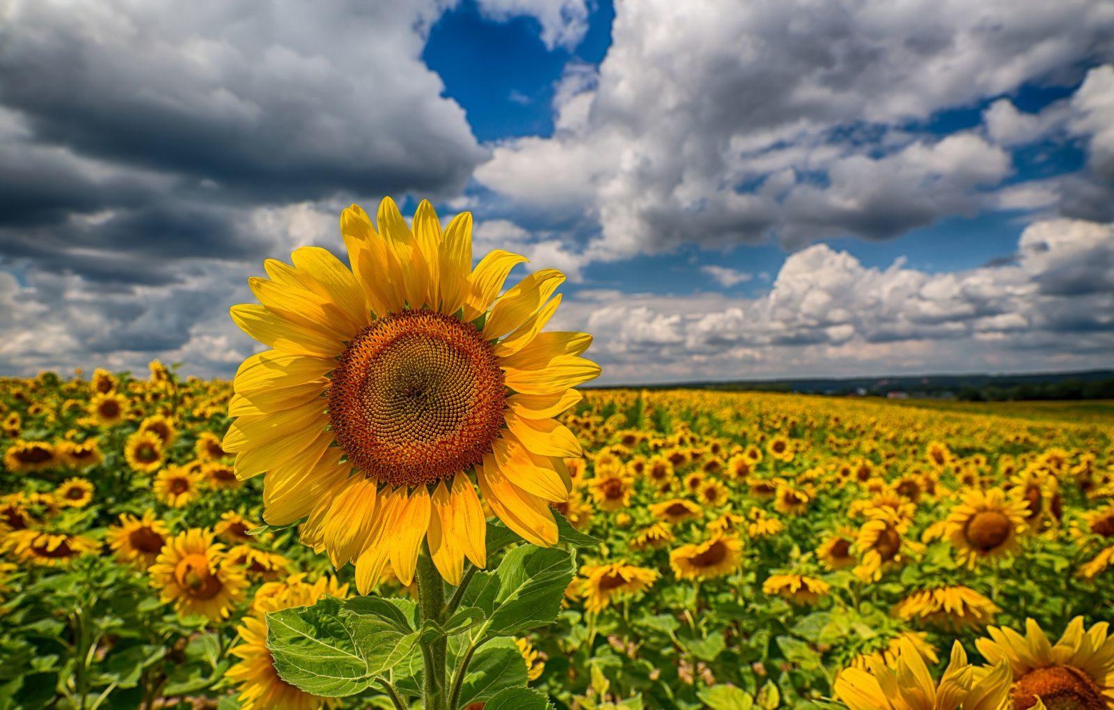 Соняшник – велика культура з великими проблемами