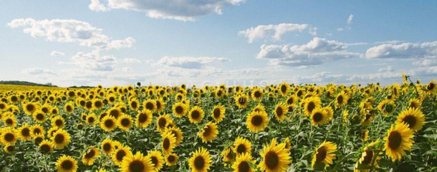 Масове вирощування соняшнику висушує українські чорноземи
