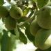 На Вінничині збільшують площі горіхових садів