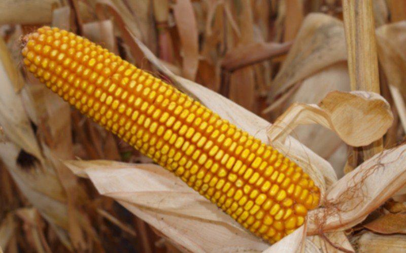 Фермери не зможуть вигідно продати кукурудзу через перенасичення ринку