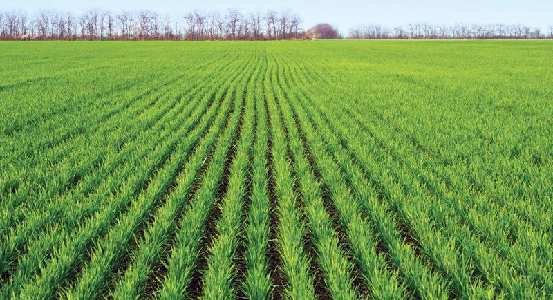 Мікотоксини – найнебезпечніші вороги зернових культур