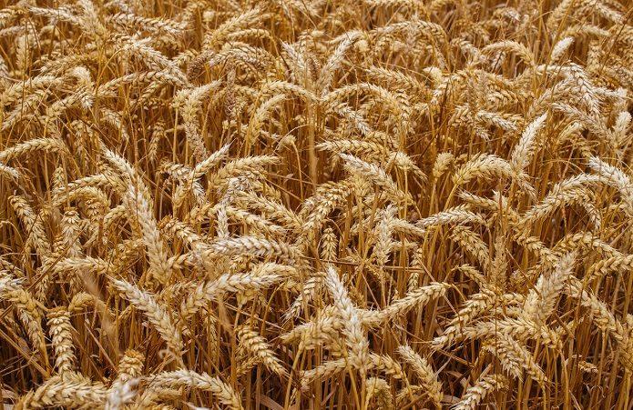 Причина кліматичної нестійкості європейської пшениці в недопрацюванні селекції