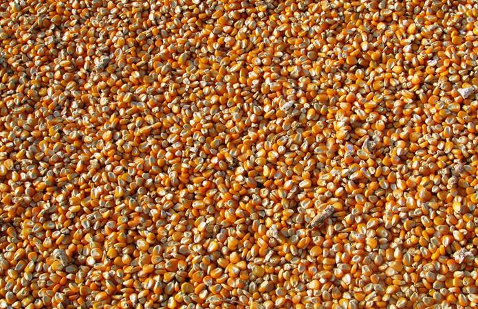 Думка: З питанням обмеження експорту кукурудзи варто почекатимісяць