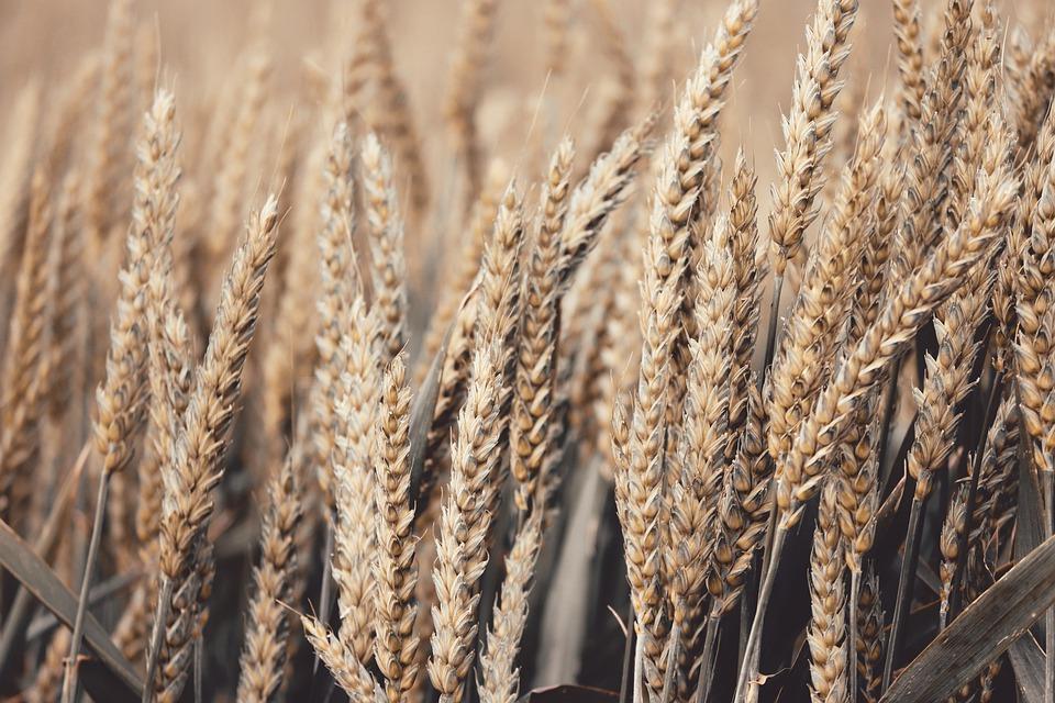 В Україні існує велика імовірність дефіциту насіння озимих культур — експерт