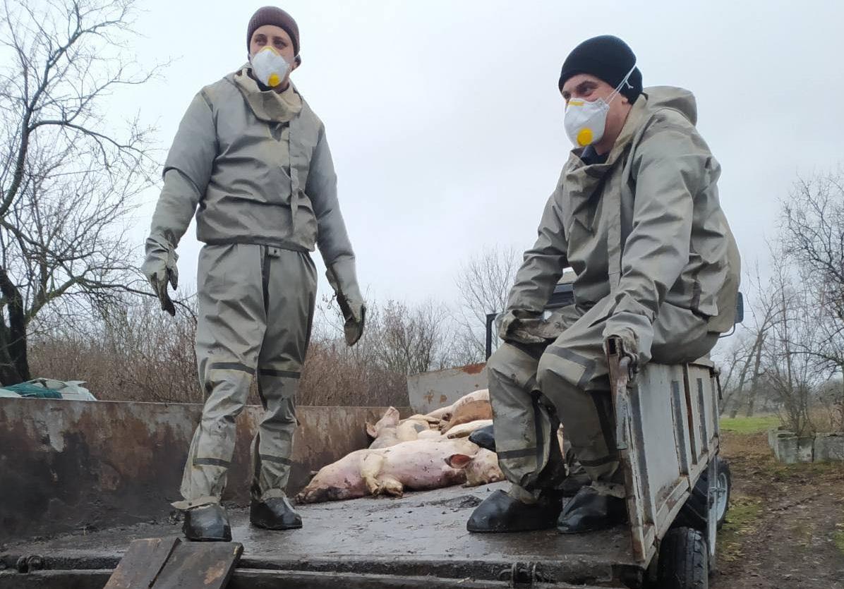 На Полтавщині виявили спалах АЧС