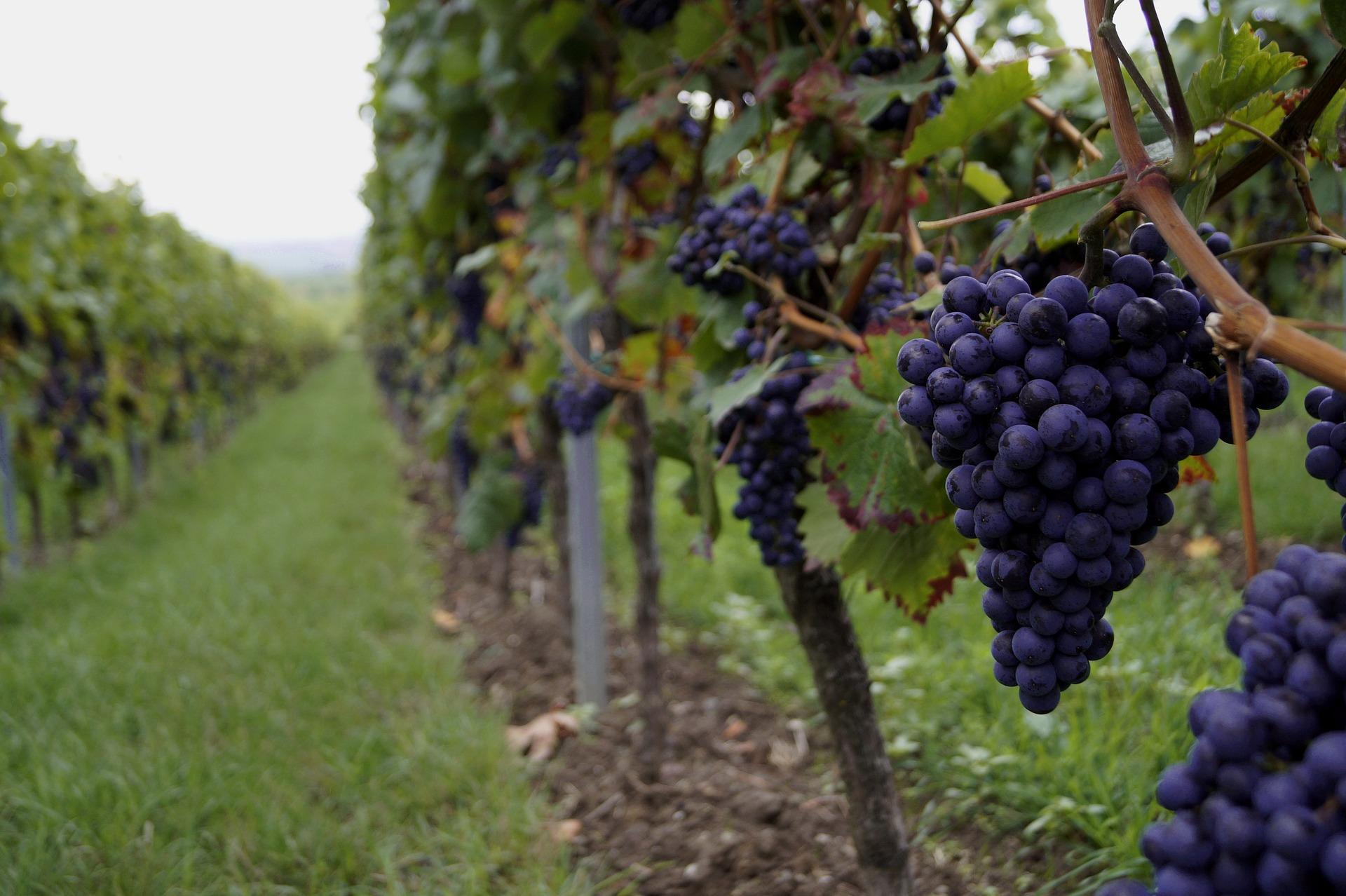 Садівники пропонують збільшити компенсацію за закладення виноградників до 50%
