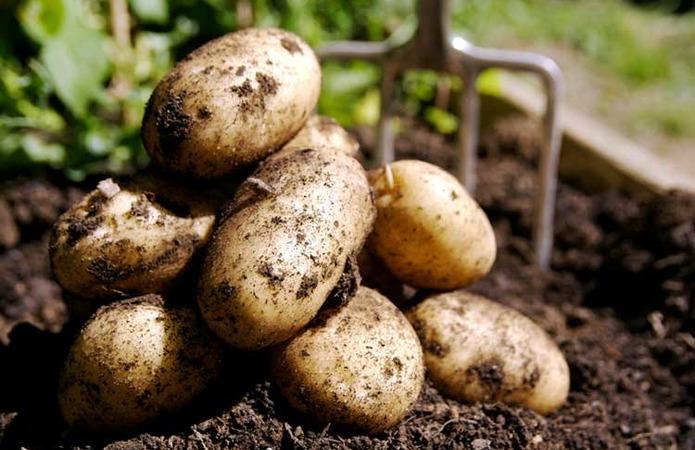 Фермери Чернігівщини недоберуть 30-40% врожаю картоплі