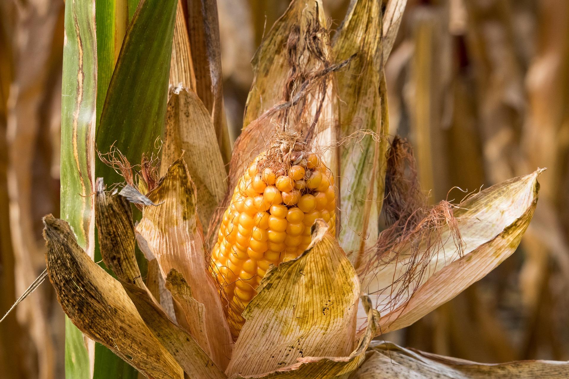 На Черкащині та Київщині кукурудза перебуває в незадовільному стані