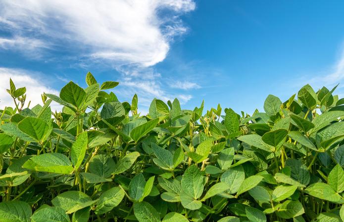 Експерт: Високоефективне підживлення для сої підвищує врожайність на 10-15%
