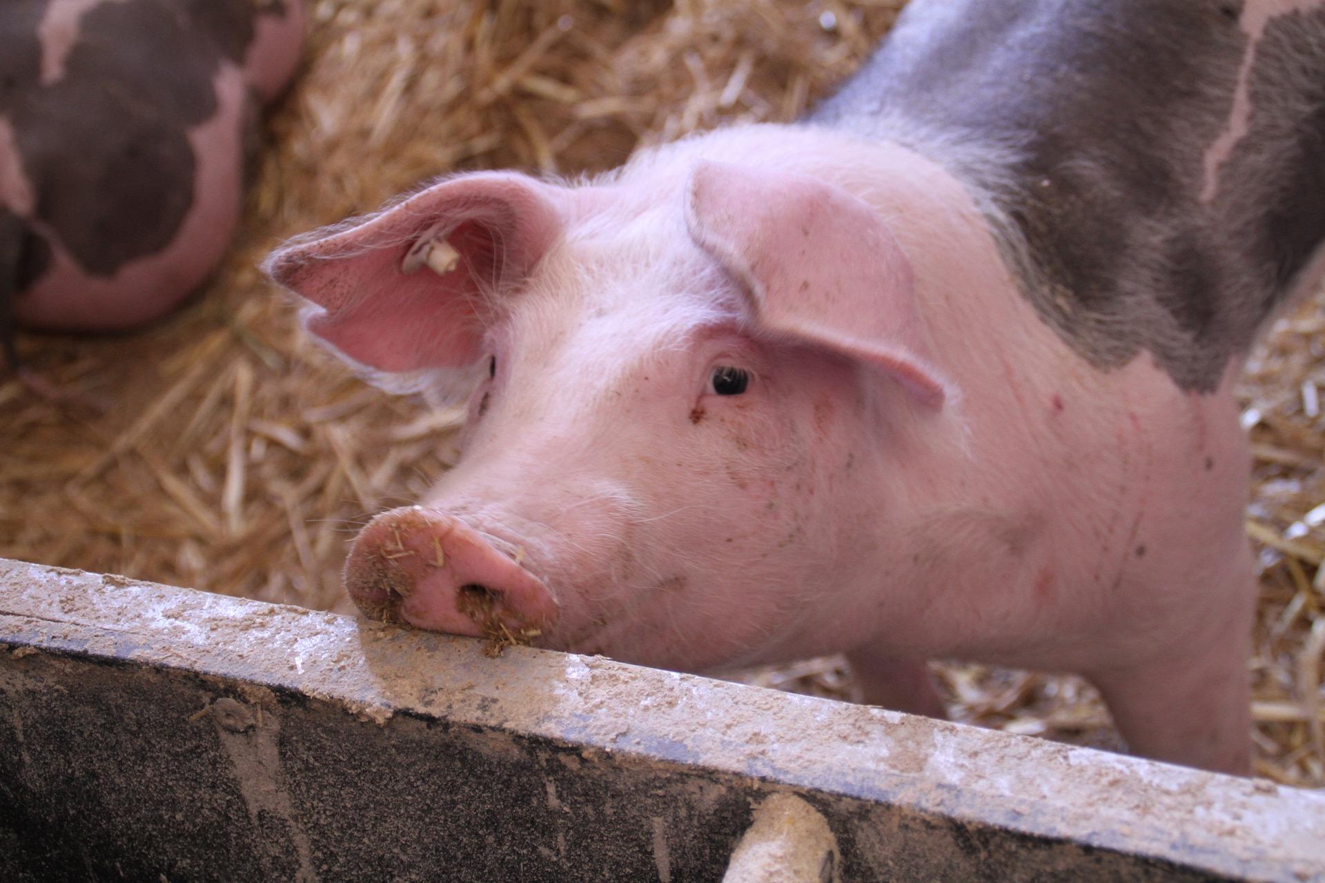 KSG Agro збільшив обсяг продажів свиней в живій вазі на 24%