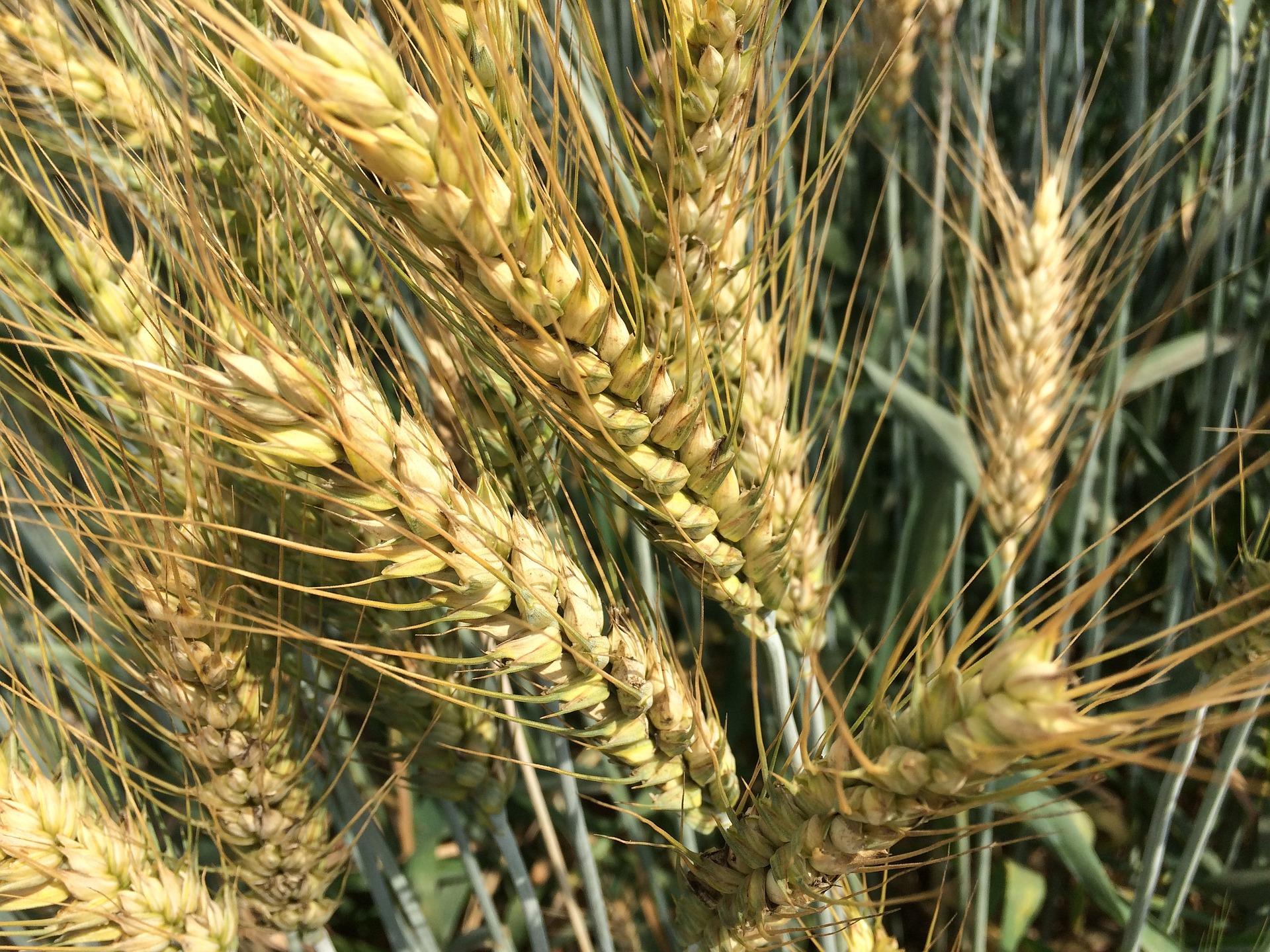 В поточному сезоні експорт пшениці очікується на рівні 17,2 млн тонн