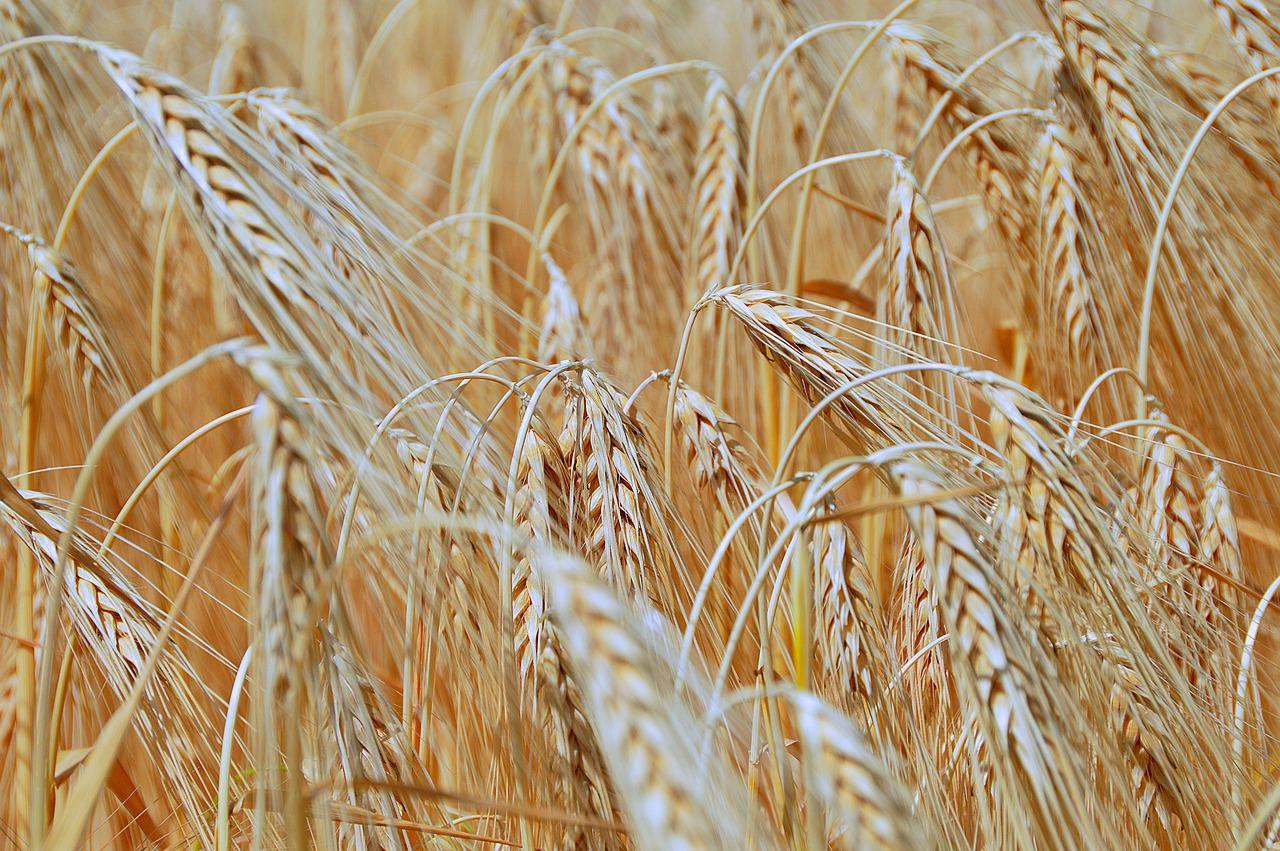 В Україні встановили новий рекорд врожайності пшениці