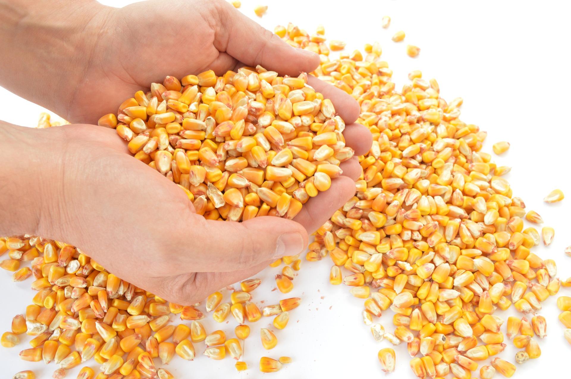 Працівника ДБР підозрюють у незаконному продажі 1,2 тис. тонн вилученої кукурудзи