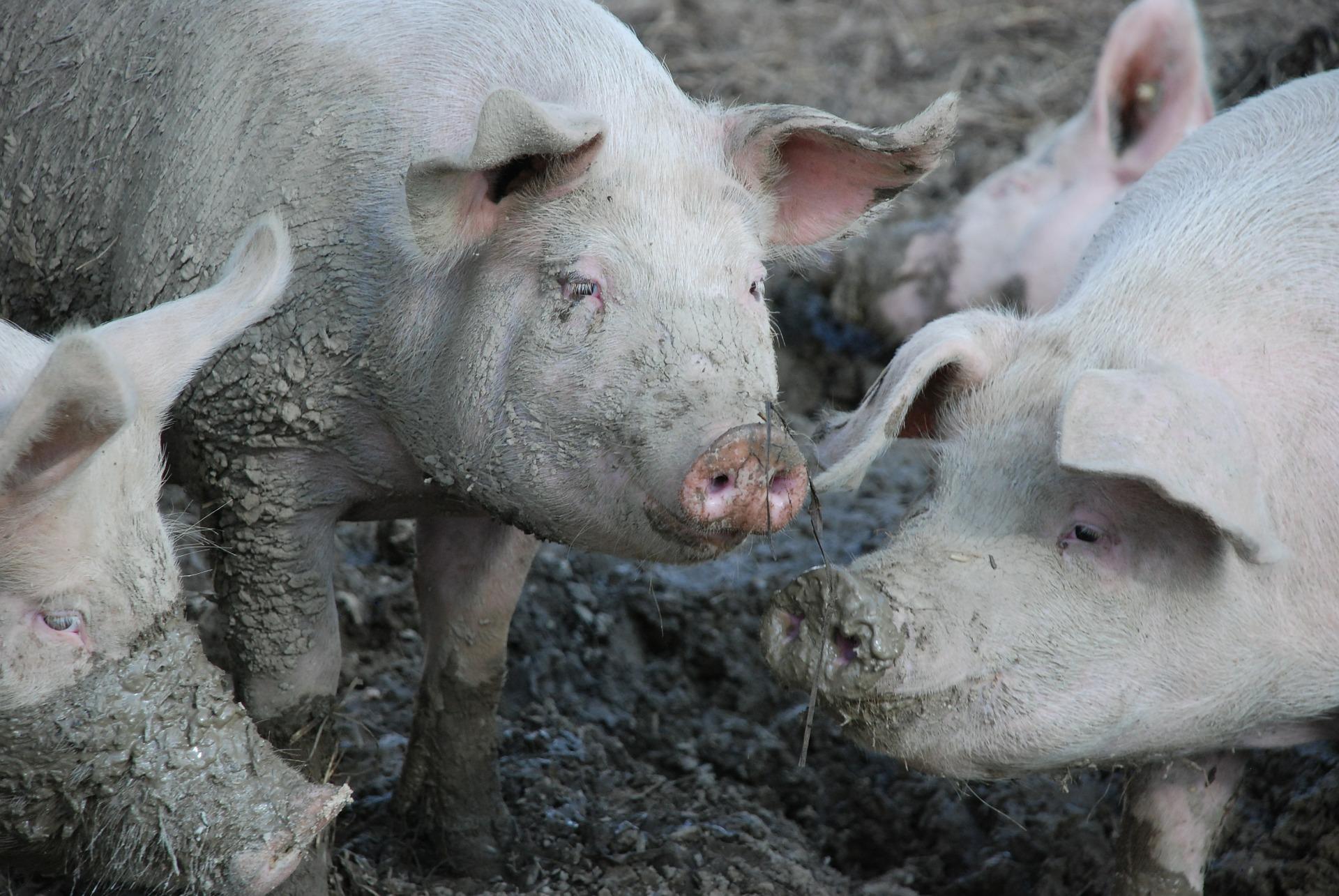 Кадрову проблему в свинарстві можна вирішити — KSG Agro