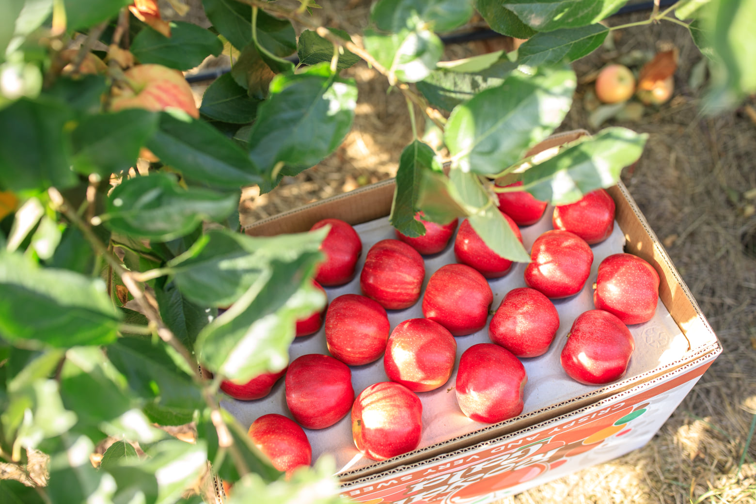Компанія «Сади Дніпра» впроваджує технологію інтелектуального сортування яблук