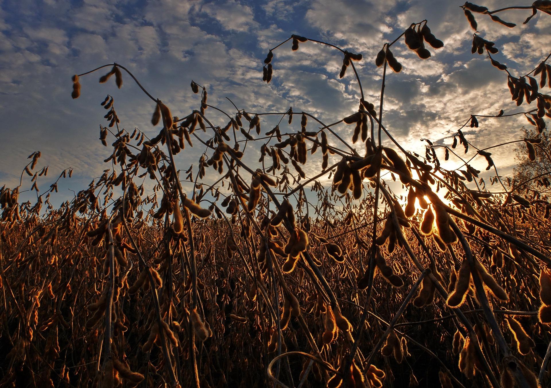 Закупівельні ціни на сою без ГМО досягли рекордного рівня