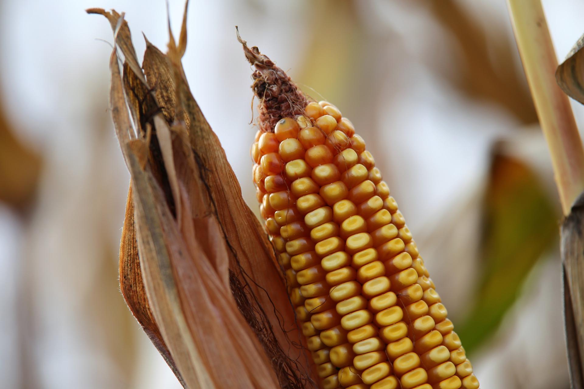 «Сингента» запатентувала спосіб виявлення та кількісного визначення фітопатогену кукурудзи