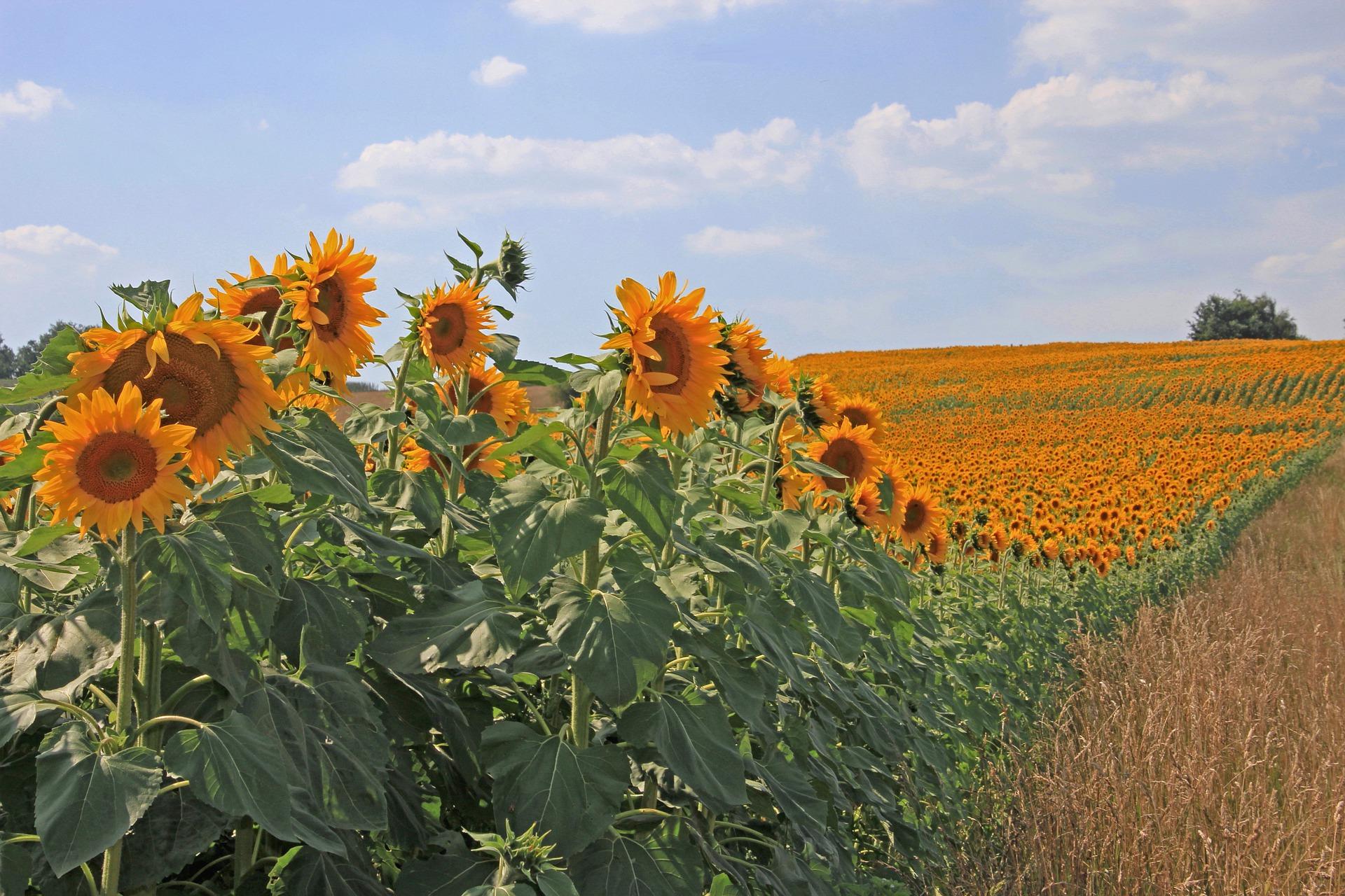 Найрентабельнішим у 2019 році було виробництво насіння соняшнику — експерт