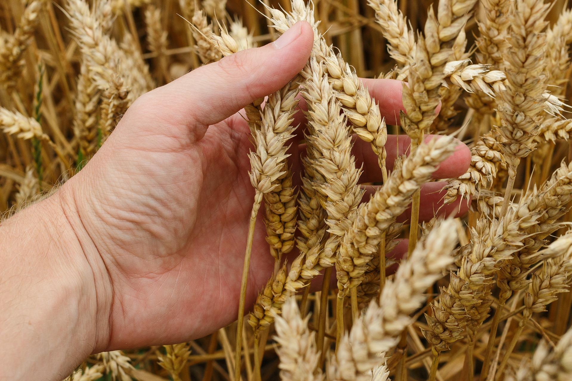 Dnipro Agro Group зібрав 91,6 тис. тонн озимих культур