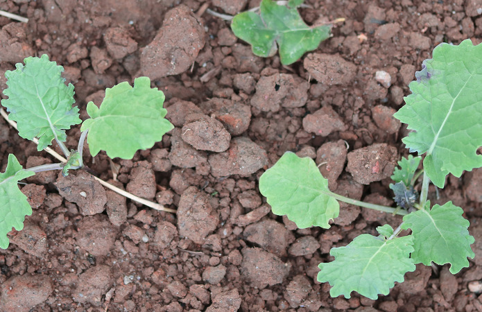 Експерти розповіли про захист озимого ріпаку на ранніх етапах вегетації