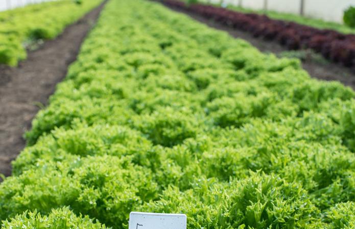 Калаглія зібрала перший врожай салату