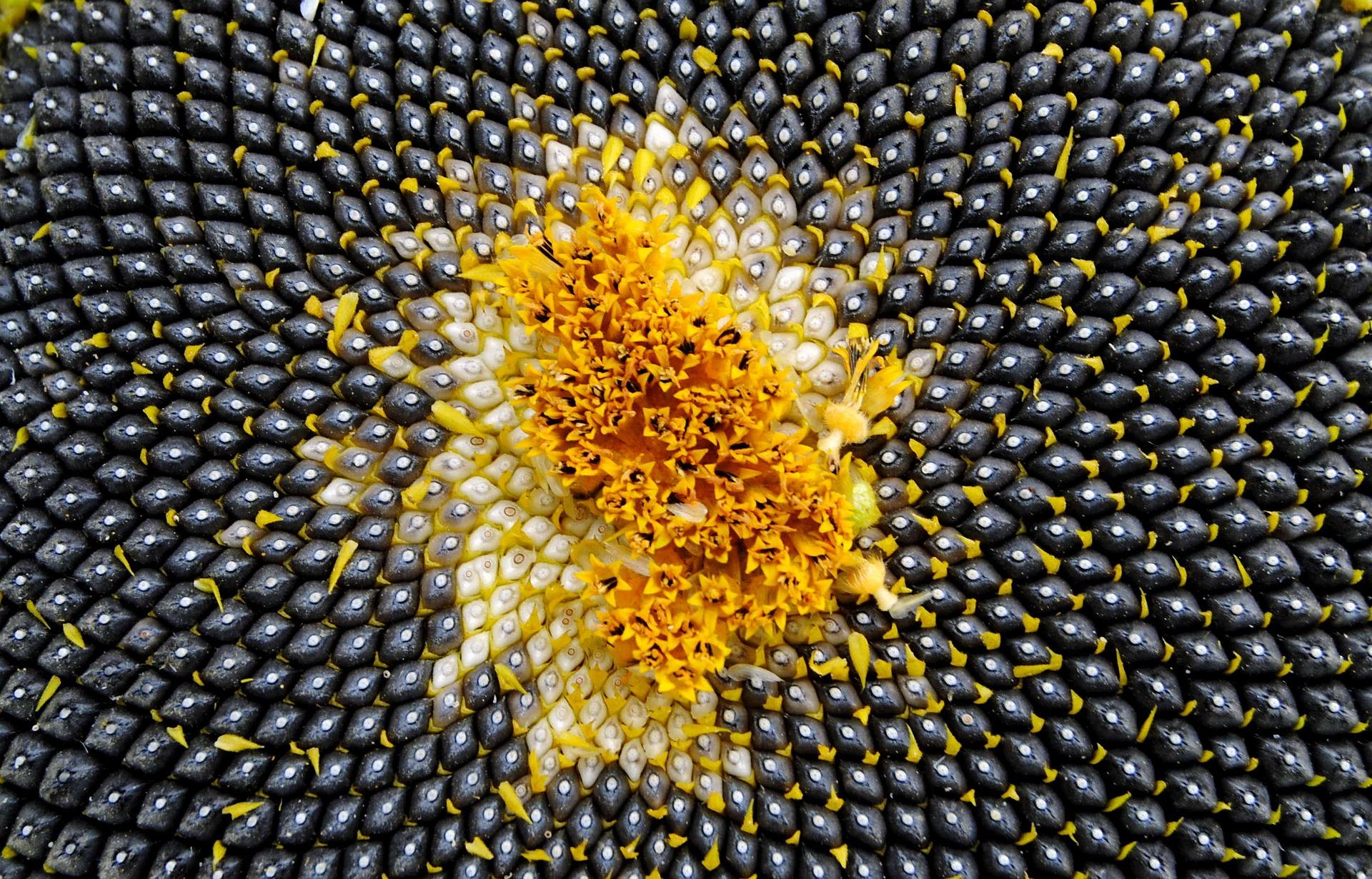 Закупівельні ціни на соняшник в Україні впритул наблизилися до 25 тис. грн/т