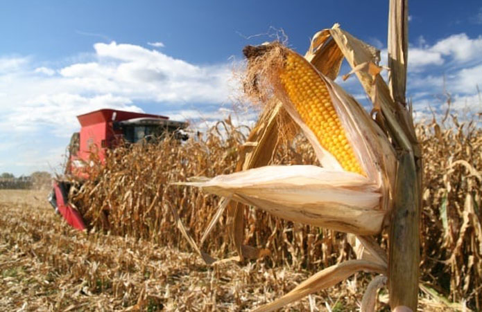 Полтавщина збере майже на 30% менше кукурудзи