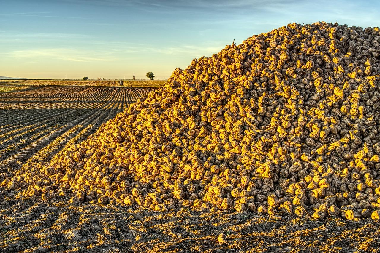 «Жданівський цукровий завод» почав приймати цукрові буряки нового врожаю