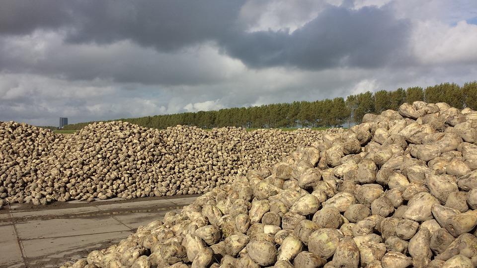 Українські цукрозаводи вже переробили 2,88 млн тонн цукрових буряків