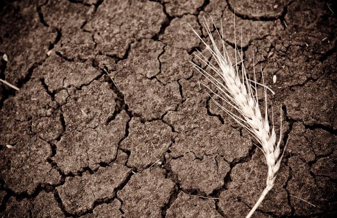 Аграрії Сумщини зберуть на 30% менше врожаю