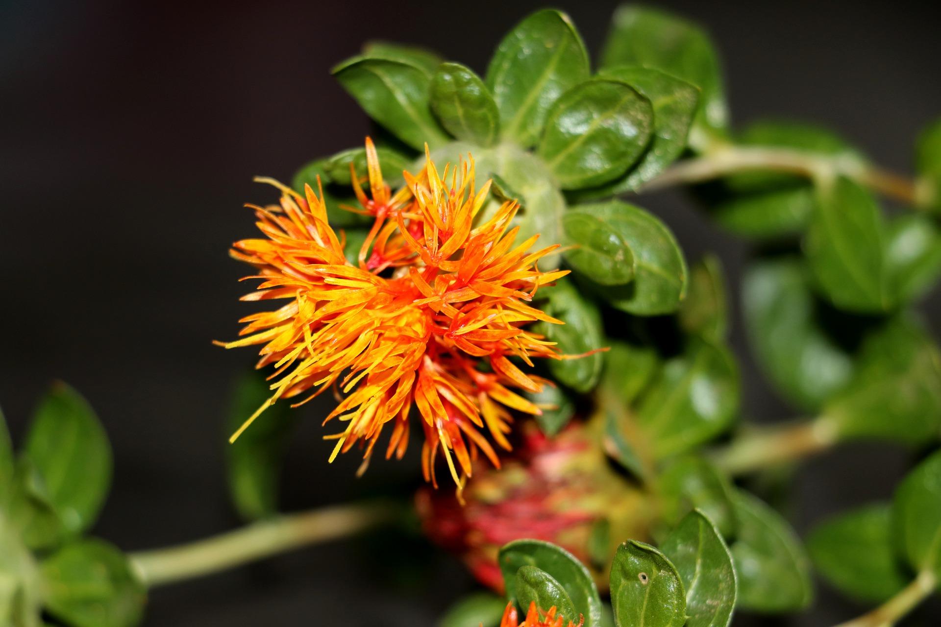 Cафлор та льон — вигідні культури для вирощування в посуху