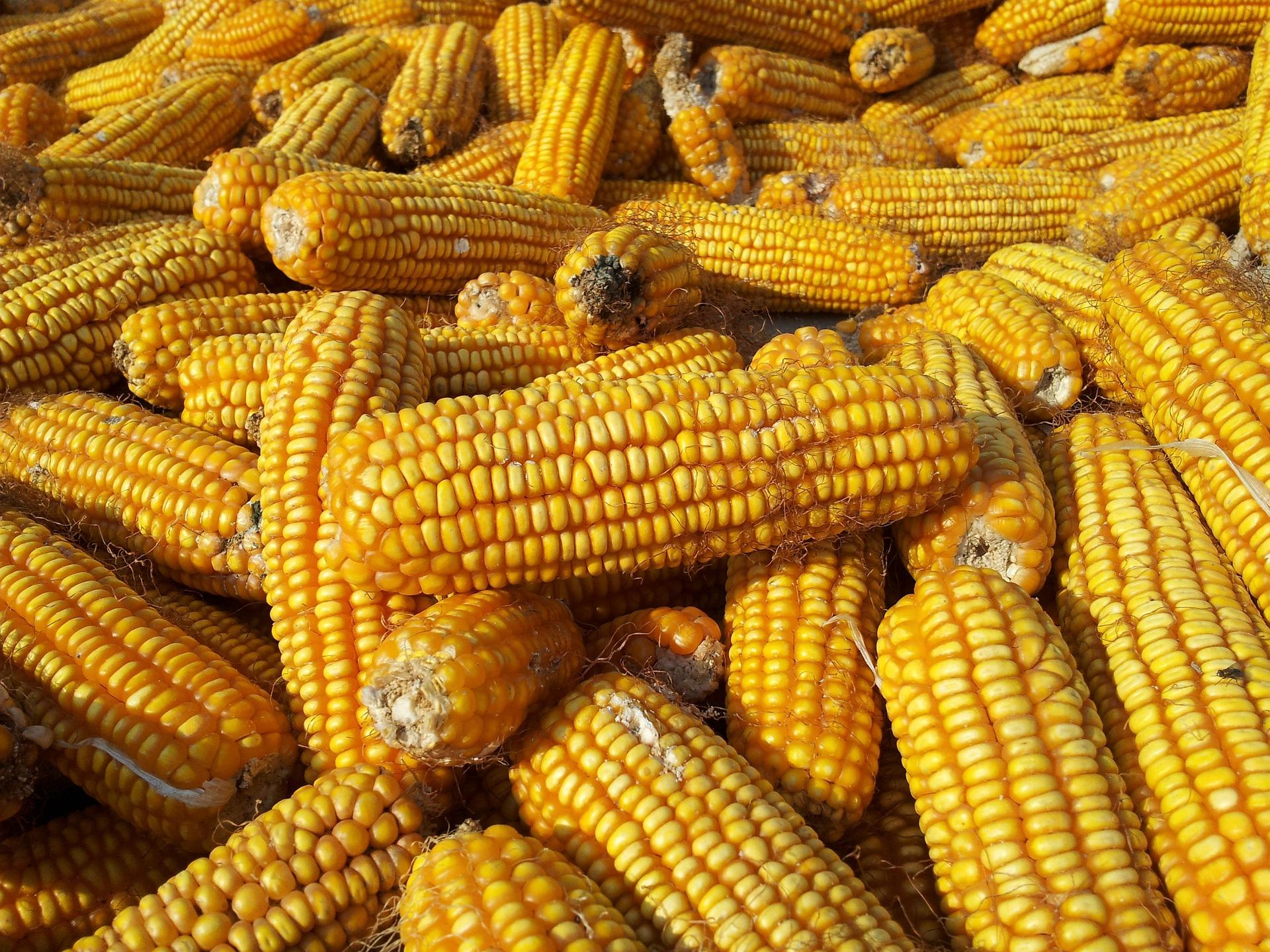 Ціни на кукурудзу на елеваторах України знижуються