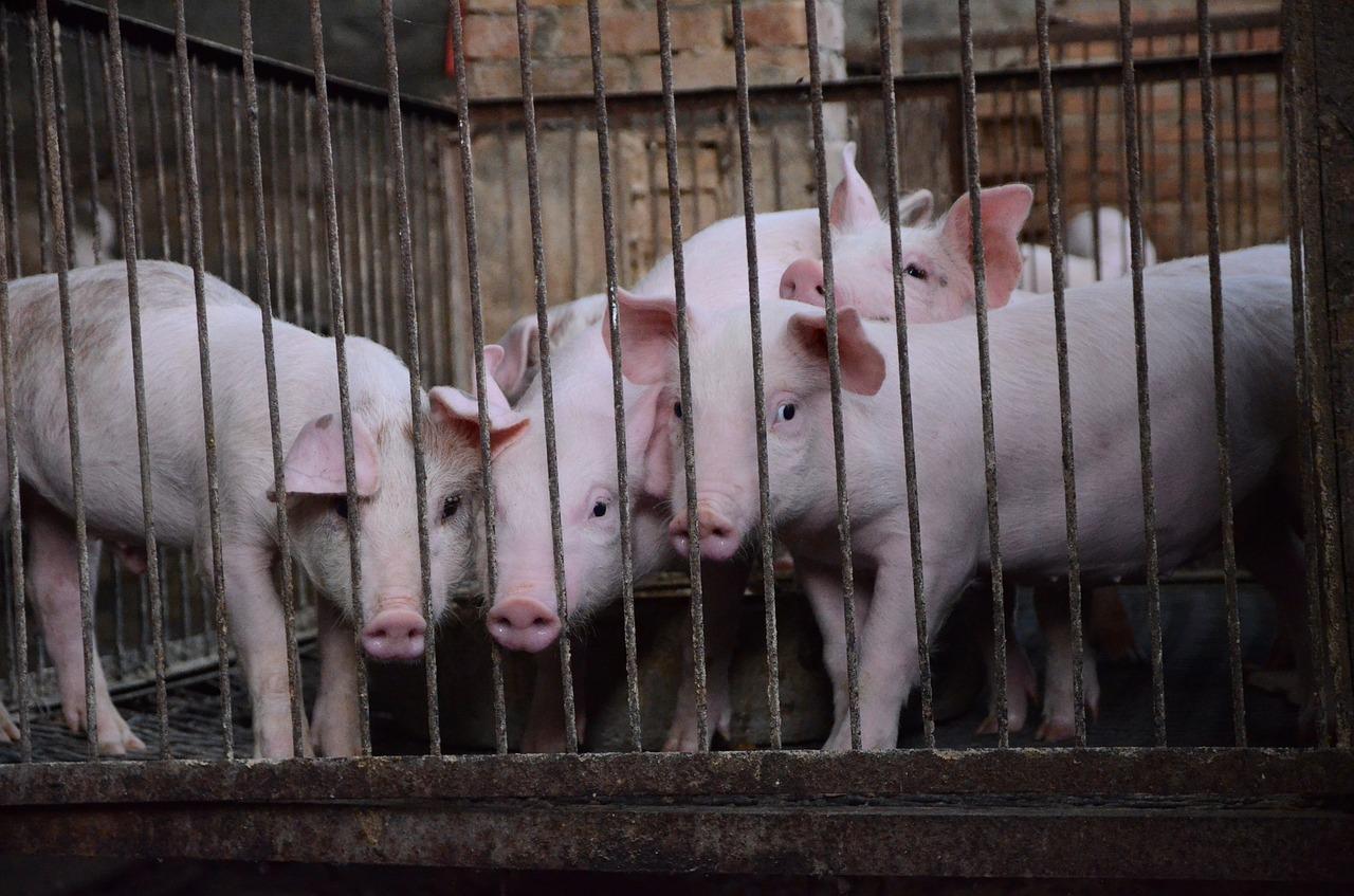 Присадибне свинопоголів'я може скоротитися до рекордно низького рівня — АСУ