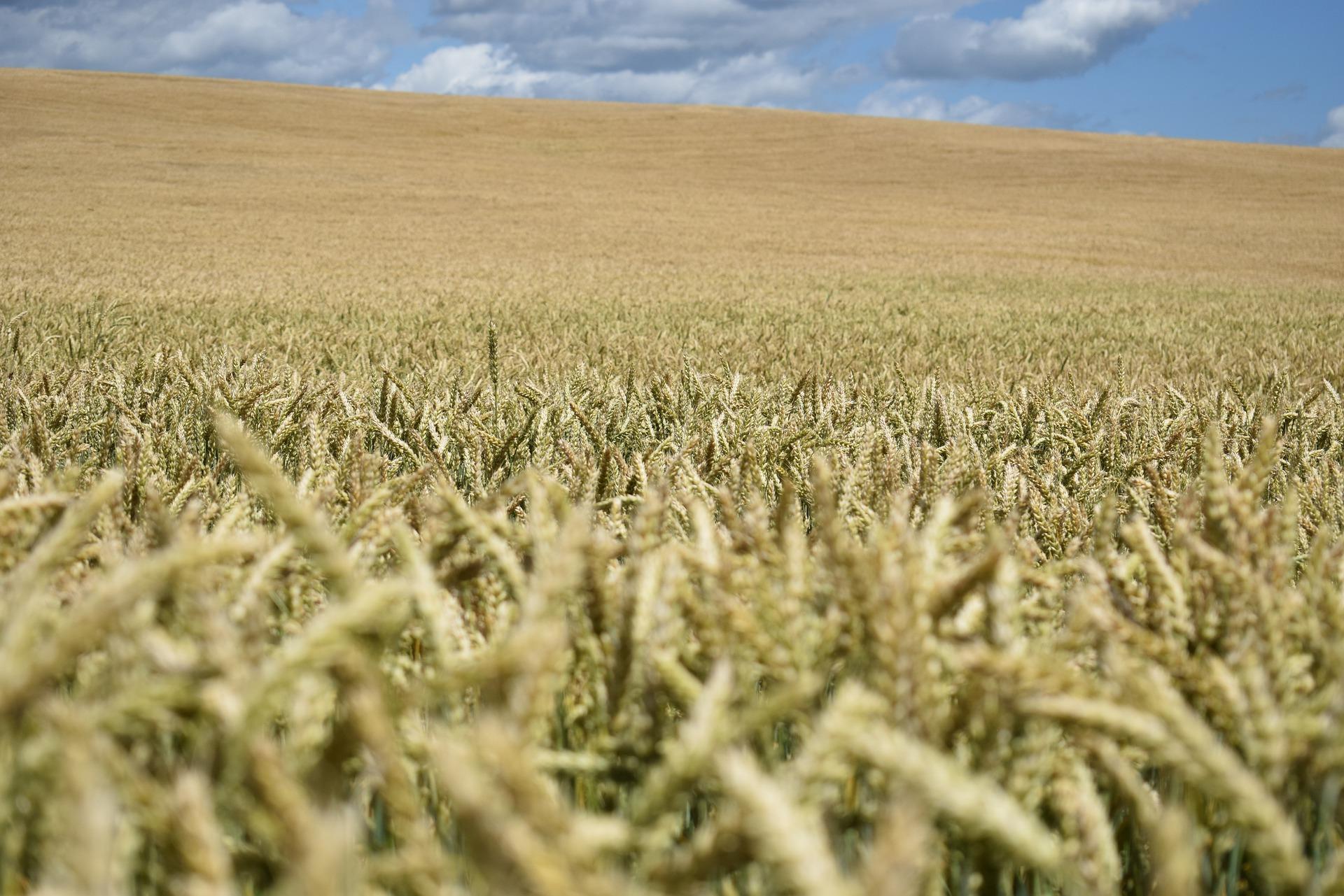 Ціни на українську пшеницю залишаються стабільними