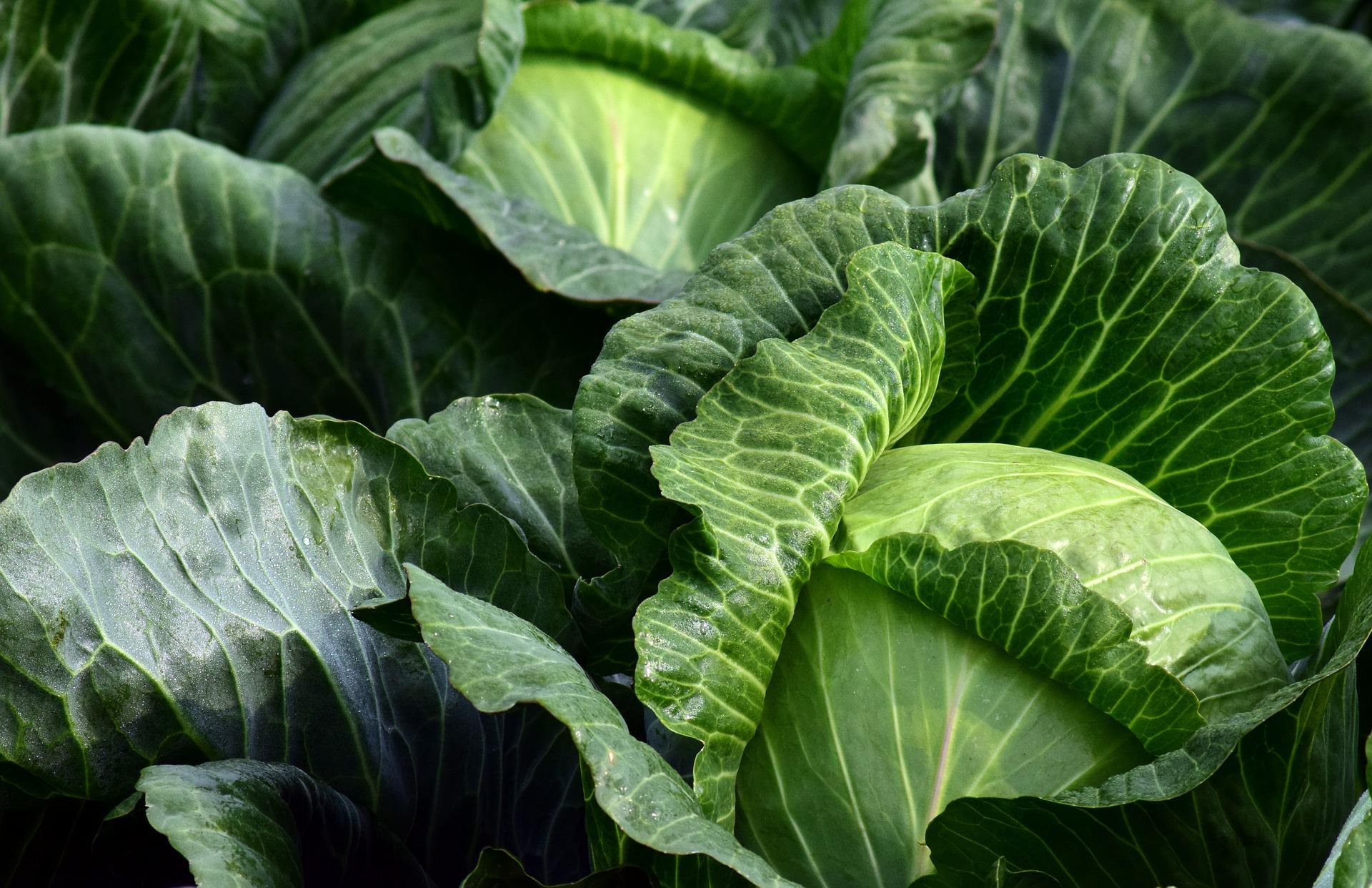 Ціни на капусту знизились під впливом збільшення її пропозиції