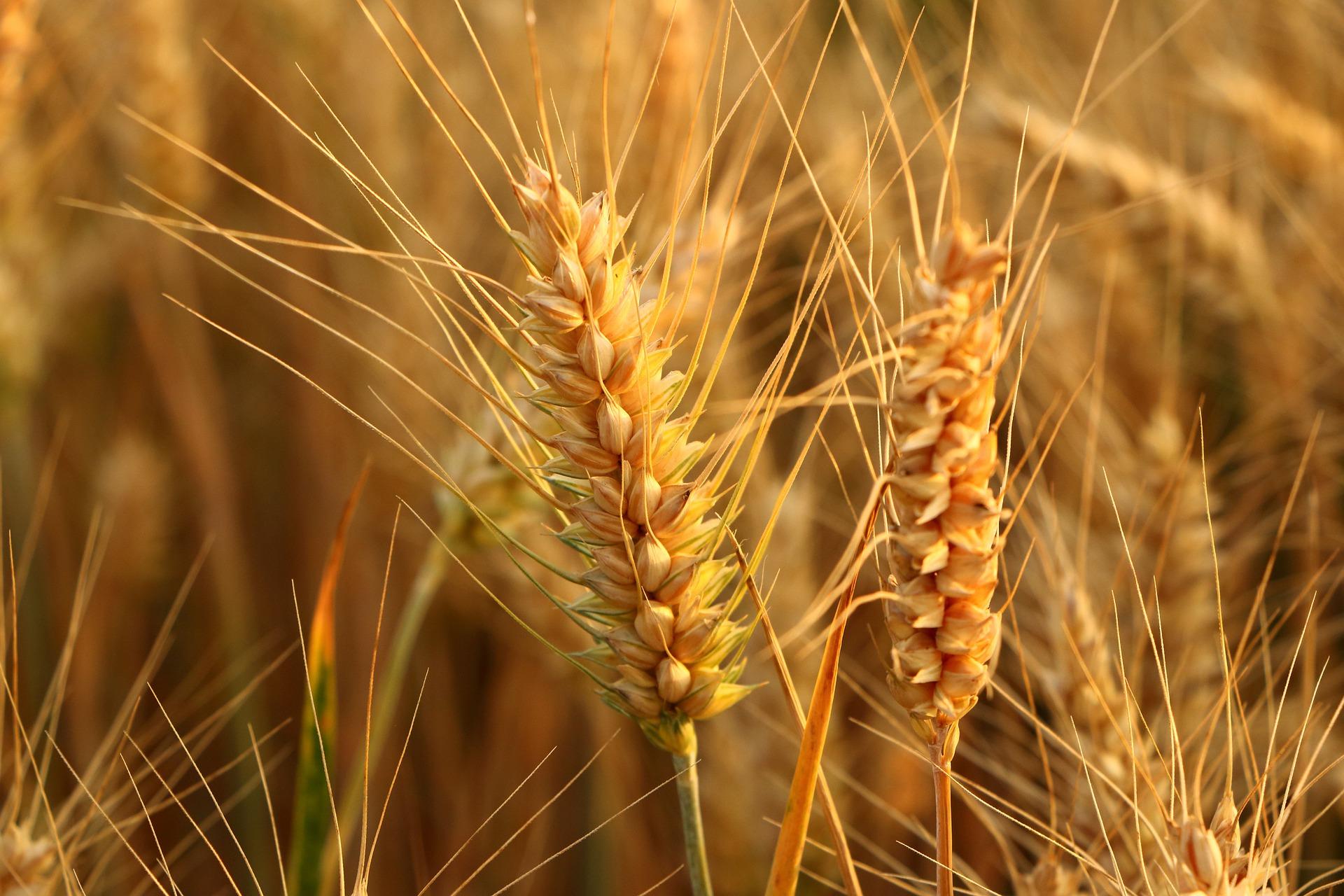 З України експортували 12,8 млн тонн пшениці