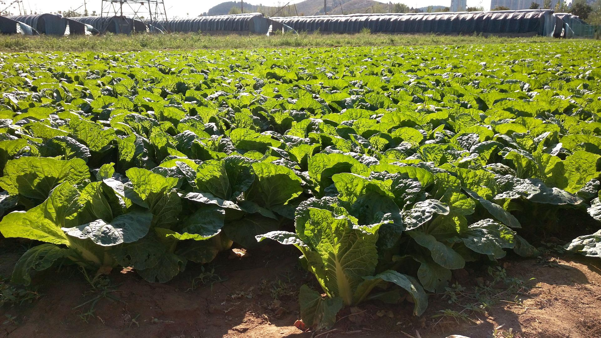 На Волині розвивають вирощування пекінської капусти