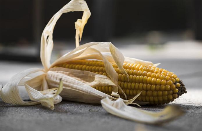 Минулого року Вінниччина втратила 40% врожаю кукурудзи