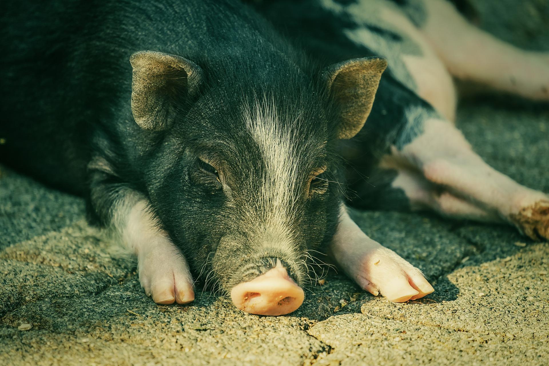 KSG Agro розпочав проект оновлення поголів'я свиней