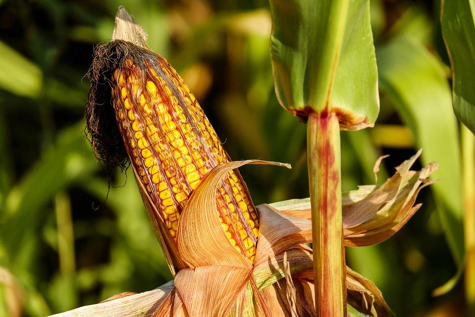 Аграрії 10 областей розпочали збирання кукурудзи