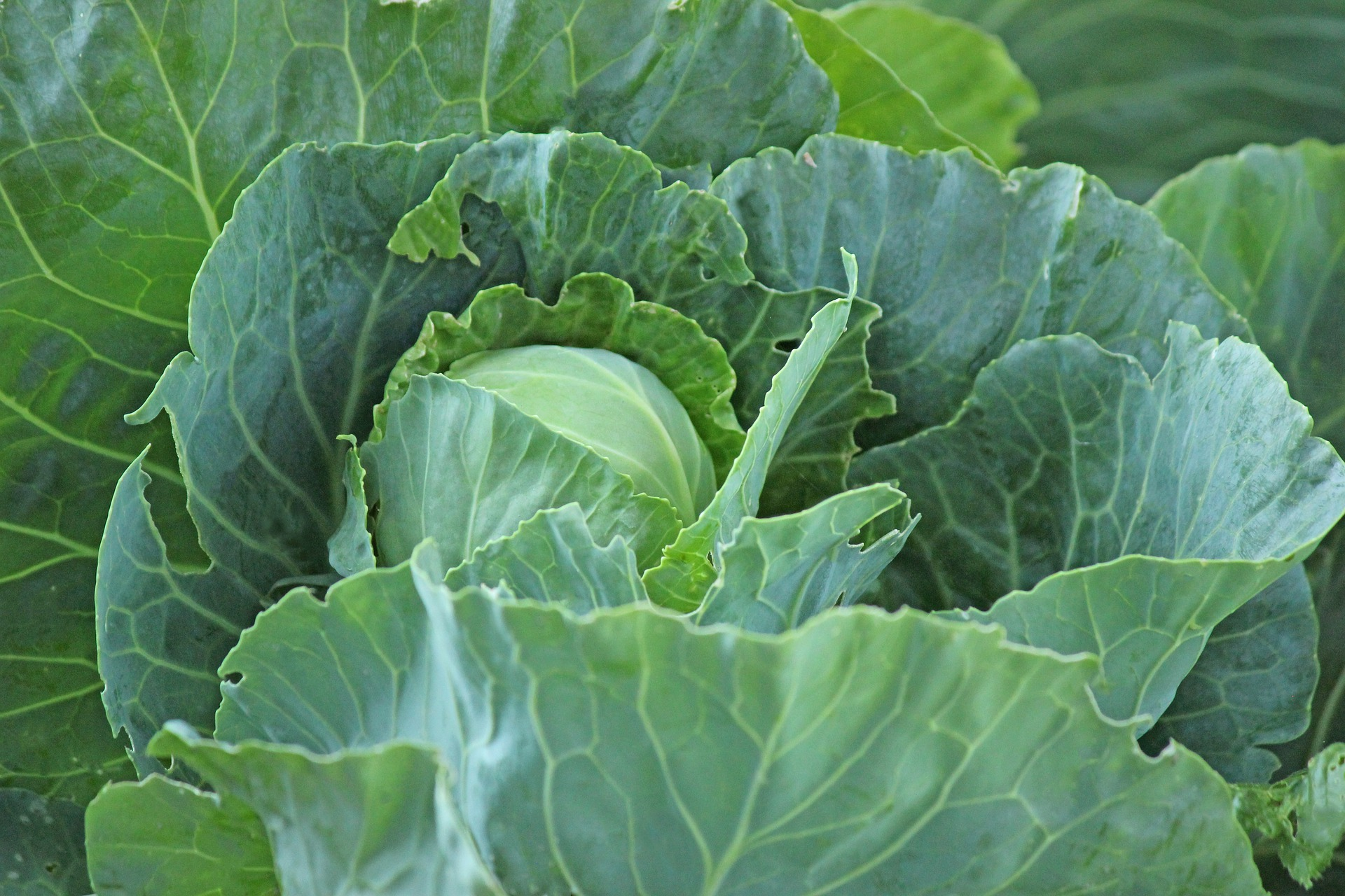 Оптова ціна на білокачанну капусту в Україні знизилася на 12%