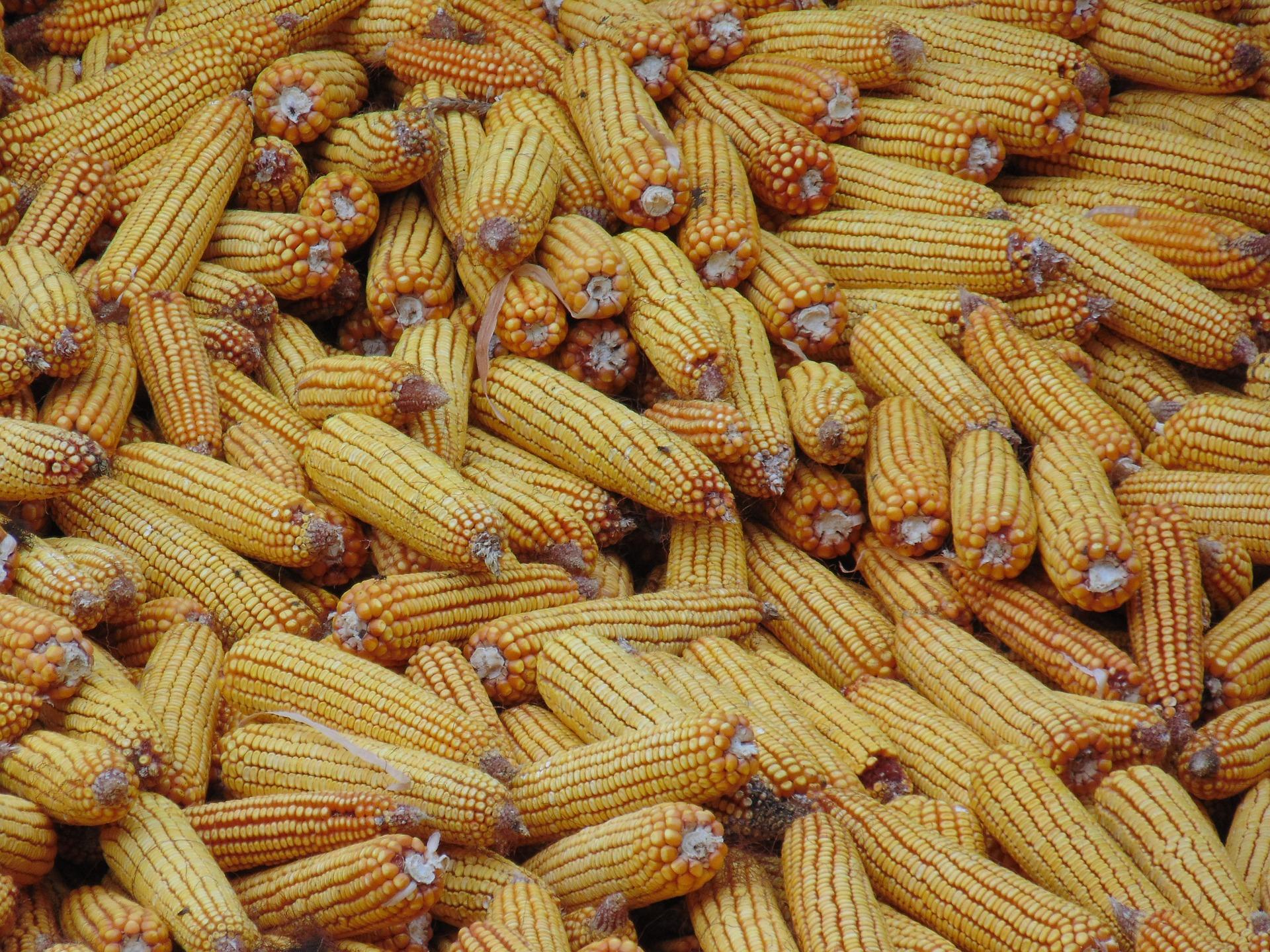З України експортували 10,2 млн тонн кукурудзи