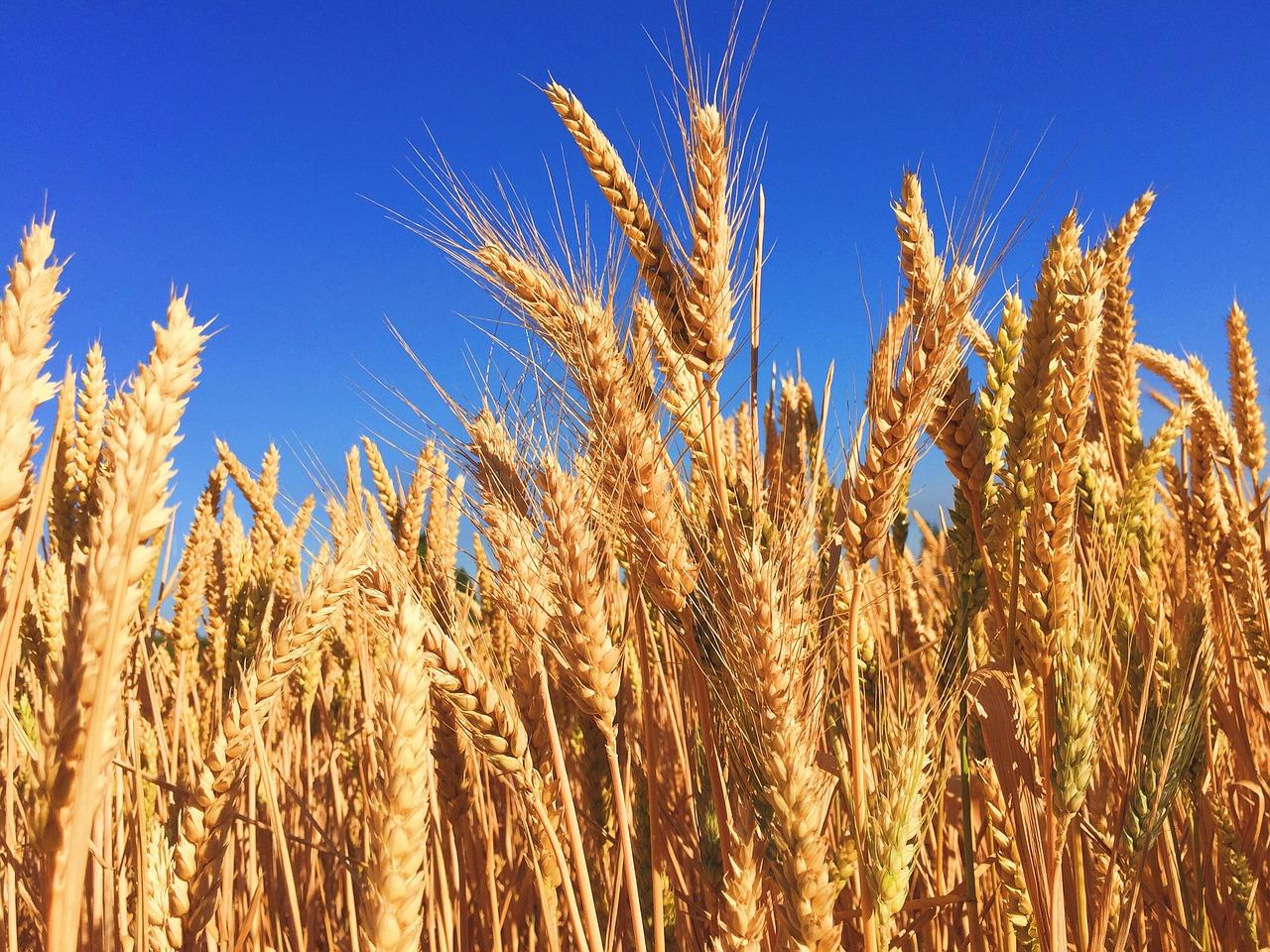 Світове виробництво зерна зросте до рекордних 2,79 млрд тонн — ФАО