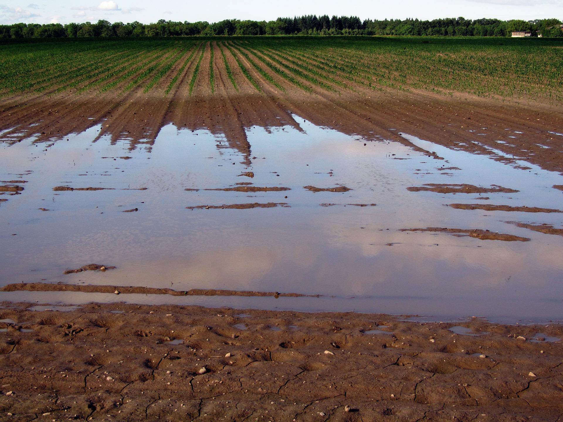 На Вінниччині рекордні опади підтопили поля із зерновими