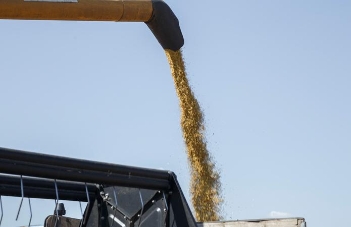 Урожай зерна в Україні прогнозують на рівні 75 млн т