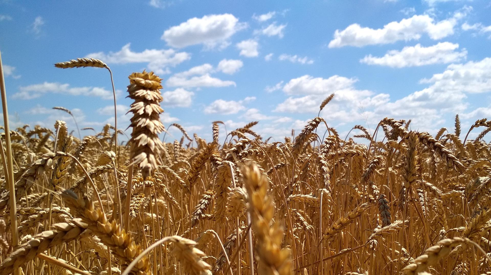 В Україні спостерігається дефіцит фуражної пшениці для експорту