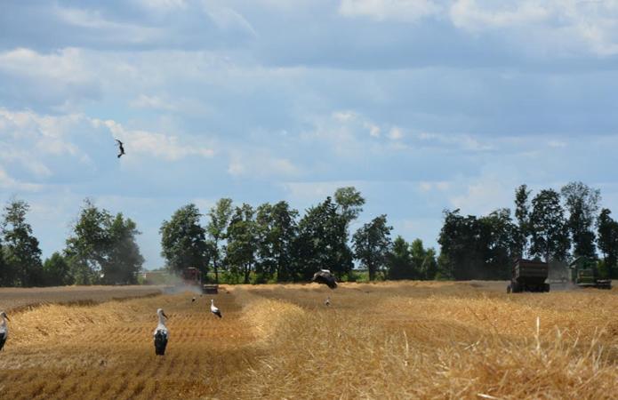 Виробник: Українські сорти пшениці цього року вродили краще
