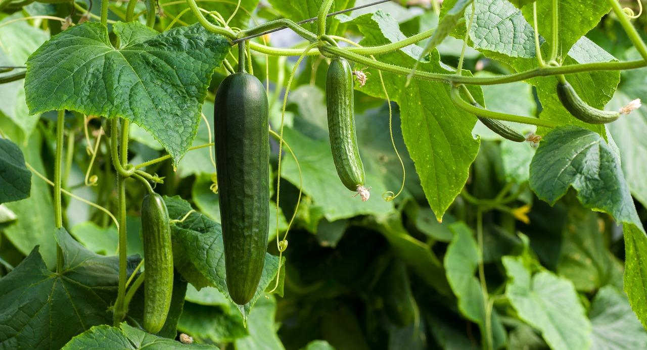В Україні ціни на тепличні огірки знижуються