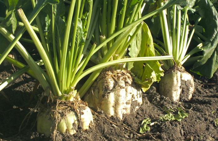 Виробник органічного цукру вирішив «прогуляти» сезон